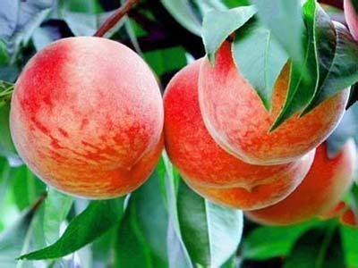 购买桃子的如何挑,学会这5个技巧,挑的桃子甜美水又多